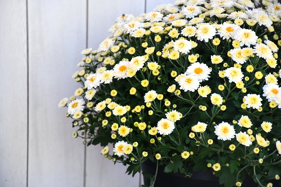 White and yellow flowers in a planter on the porch.